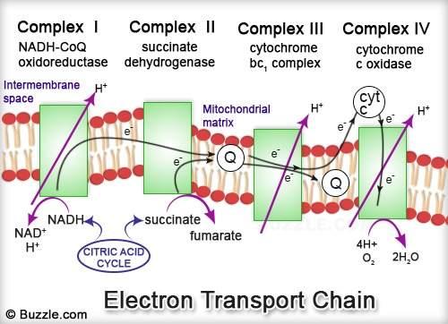 Electron Transport Chain Alpha Lipoic Acid